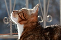 Domestic cat watching for prey Royalty Free Stock Photography