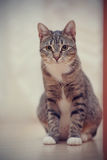 Domestic cat with white paws Royalty Free Stock Photos