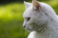Domestic Cat Royalty Free Stock Photos