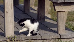 Domestic cat in the wild. One cat bengal walks on the green grass. Bengal kitty learns to walk along the forest. Asian leopard cat tries to hide in the grass stock video