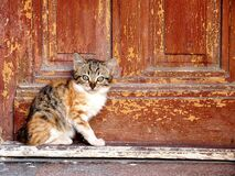 Domestic cat by wooden door Stock Photography