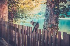 Domestic cat on wooden fence. Domestic cat standing and walking on wooden fence, background of sunset on the river royalty free stock photos