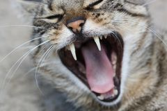 Domestic cat yawning. Royalty Free Stock Photo