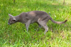 Cat Of Oriental Breed Eats Grass In Garden. Royalty Free Stock Images