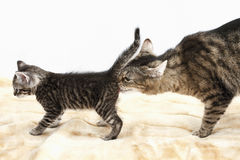 Domestic cats, Cat and kitten Royalty Free Stock Image
