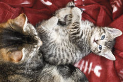 Domestic cats, Cat and kitten lying on blanket Royalty Free Stock Photo
