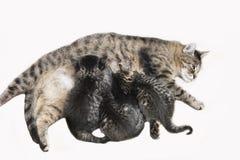 Domestic cats, Cat nursing kittens Royalty Free Stock Image