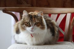 Portrait of a tricolor cat with red collar on rustic chairwith indifferent looks. royalty free stock image