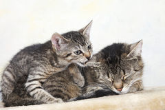 Domestic cats, Female cat and kitten Royalty Free Stock Image