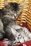 Domestic cats, kittens lying in basket Royalty Free Stock Photos