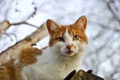 Red-white domestic cat Felis silvestris catus on woodpile looks down attentively royalty free stock image