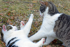Domestic cats playing outdoors Stock Photography