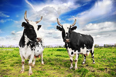 Domestic cattle royalty free stock photos