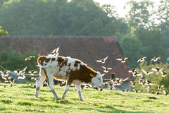Domestic cattle Royalty Free Stock Images
