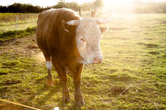Domestic cattle Stock Image