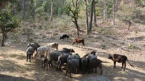 Domestic cattle. Are grazing in group in open forest stock footage