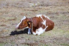 Domestic cattle in a meadow in Italian Alps Stock Photo