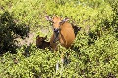 Domestic cattle, Nusa Penida, Indonesia Royalty Free Stock Image
