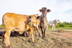 Domestic cattle in rural farm field Royalty Free Stock Photo