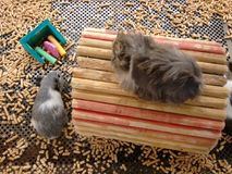 Domestic cavy - A small rodent. Cavy, domestic cavy, domestic guinea pig, guinea pig, guineapig or little pig. The guinea pig or domestic guinea pig Cavia Stock Images