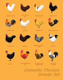 Domestic Chicken Breeds Set Cartoon Vector Illustration Royalty Free Stock Image