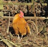Domestic Chicken Cockerel Stock Images