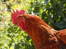 Domestic chicken stock image