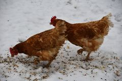 Free Domestic Chicken Eating Together On The Grass Farm In The Winter Royalty Free Stock Images - 109127949