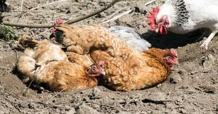 Domestic chickens are basking in the sun in a fovea that they themselves dug up. Gallus gallus domesticus Stock Photos