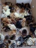 Domestic chickens stock image
