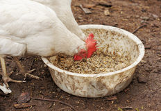 Domestic chickens eat grains Stock Image