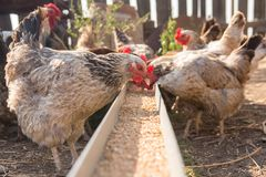 Free Domestic Chickens In Aviary Need Food From The Tray Stock Images - 101692994