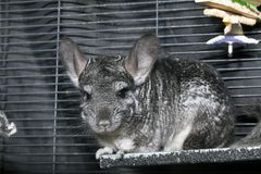 Domestic Chinchilla in cage Stock Photography