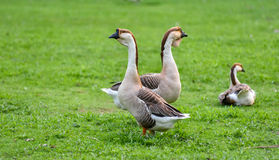 Domestic Chinese geese.   Earth tone Colourful big birds on a hobby farm in Ontario, Canada. Royalty Free Stock Image