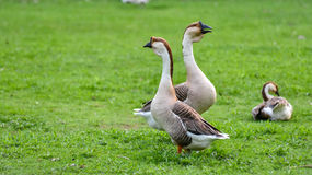 Domestic Chinese geese.   Earth tone Colourful big birds on a hobby farm in Ontario, Canada. Royalty Free Stock Photos