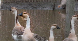 Domestic Chinese goose.   Big birds on a hobby farm in Ontario, Canada. Stock Image