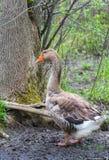 Domestic Chinese goose.   Big birds on a hobby farm in Ontario, Canada. Stock Photos