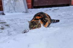 A domestic colorful cat hidding behind peak of snow and waiting for ideal occasion for attack. You must be so carefull. Beautiful. Winter royalty free stock image