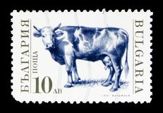 Domestic Cow (Bos primigenius taurus), Domesticated animals seri. MOSCOW, RUSSIA - MAY 15, 2018: A stamp printed in Bulgaria shows Domestic Cow (Bos primigenius Stock Photography