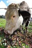 Domestic cow  eating flowers Stock Image