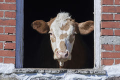 Domestic cow looking out a window Royalty Free Stock Photo