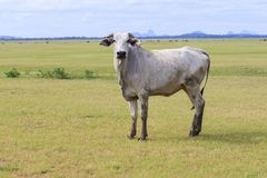 Domestic cow in thailand rural farm land Stock Image