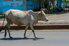 Domestic cow walking on the city street in Africa Royalty Free Stock Image