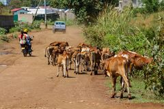 Domestic cow walking on the village street in Africa Stock Photography