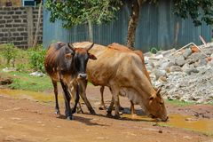 Domestic cow walking on the village street in Africa Stock Photo