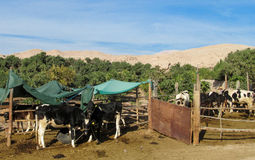 Cows on the farm. Domestic cows on the farm Royalty Free Stock Photography
