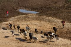 Domestic cows herd walking on the village street in Africa Royalty Free Stock Photo