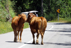 Domestic Cows Kissing - Nature - Travel Europe Stock Photos