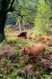 Domestic cows pasturing in mountains royalty free stock photography