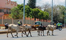 Domestic cows walking on the city street in Africa. Domestic cows walking on the city asphalt street in Africa. Masai cows in Kenya Royalty Free Stock Image